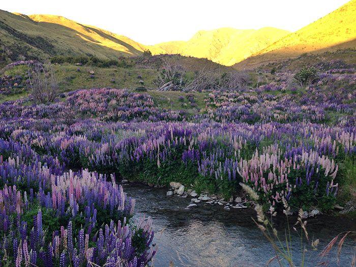 purple flowers in new zealand